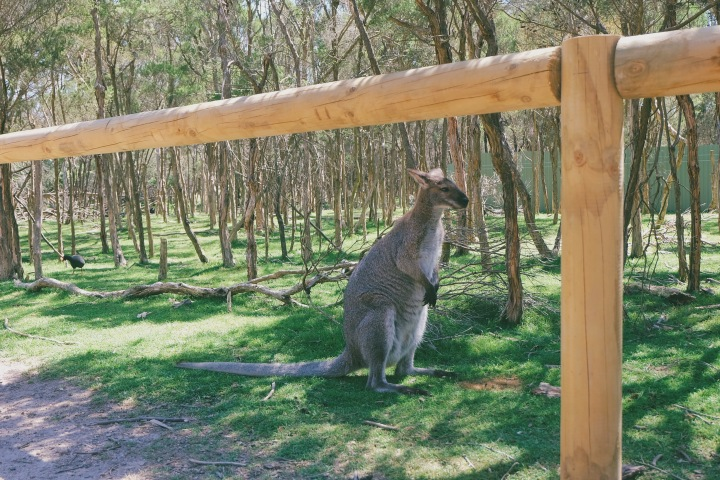 Sedekat ini dengan wallaby di Moonlit Sanctuary